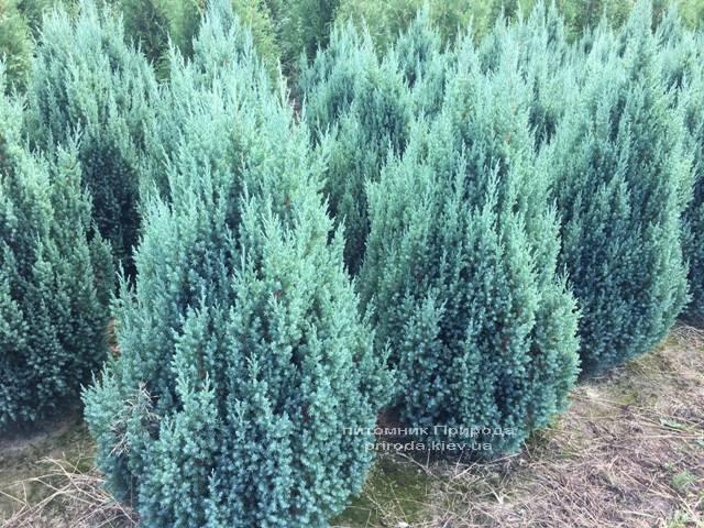 Ялівець китайський Стрикта (Juniperus chinensis Stricta) ФОТО Розплідник рослин Природа Priroda (194)
