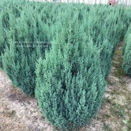 Ялівець китайський Стрикта (Juniperus chinensis Stricta) ФОТО Розплідник рослин Природа Priroda (191)