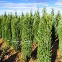 Ялівець звичайний Арнольд (Juniperus communis Arnold) ФОТО Розплідник рослин Природа Priroda (199)