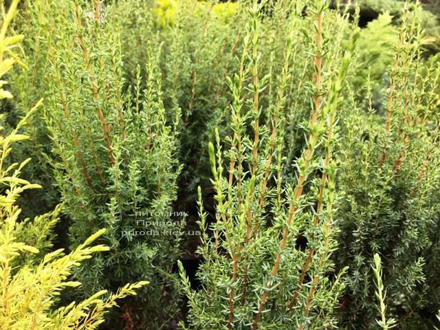 Ялівець звичайний Арнольд (Juniperus communis Arnold) ФОТО Розплідник рослин Природа Priroda (202)