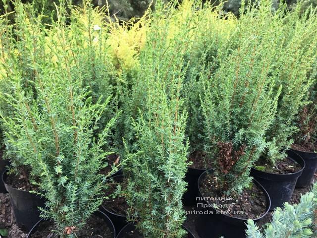 Ялівець звичайний Арнольд (Juniperus communis Arnold) ФОТО Розплідник рослин Природа Priroda (203)