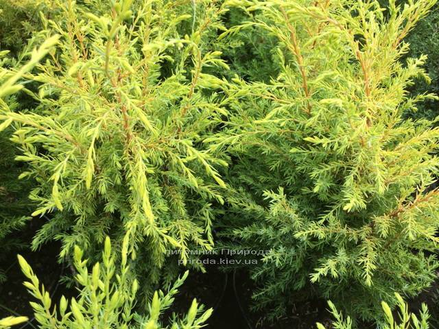 Можжевельник обыкновенный Голд Кон (Juniperus communis Gold Cone) ФОТО Питомник растений Природа Priroda (207)