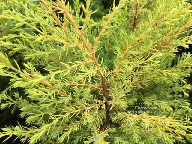 Можжевельник обыкновенный Голд Кон (Juniperus communis Gold Cone) ФОТО Питомник растений Природа Priroda (208)