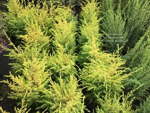 Можжевельник обыкновенный Голд Кон (Juniperus communis Gold Cone) ФОТО Питомник растений Природа Priroda (210)