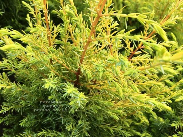 Можжевельник обыкновенный Голд Кон (Juniperus communis Gold Cone) ФОТО Питомник растений Природа Priroda (211)