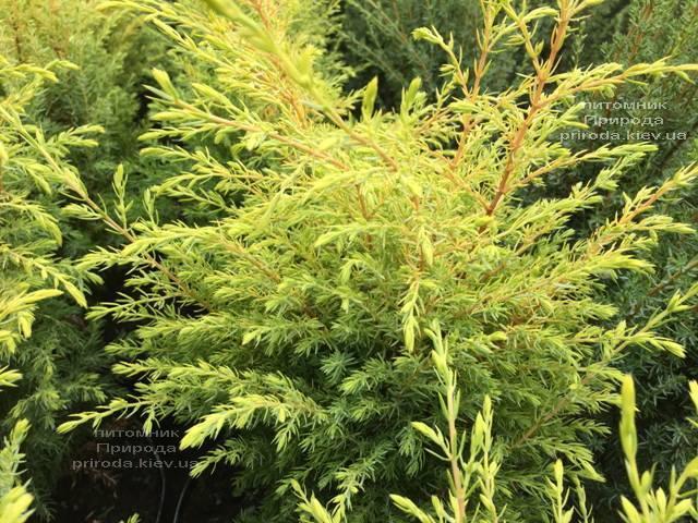Можжевельник обыкновенный Голд Кон (Juniperus communis Gold Cone) ФОТО Питомник растений Природа Priroda (212)