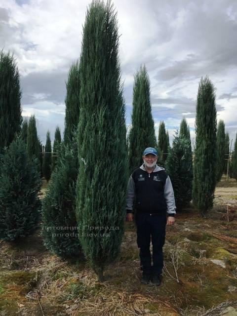 Ялівець скельний Блю Арроу / Блю Ерроу (Juniperus scopolorum Blue Arrow) ФОТО Розплідник рослин Природа Priroda (177)