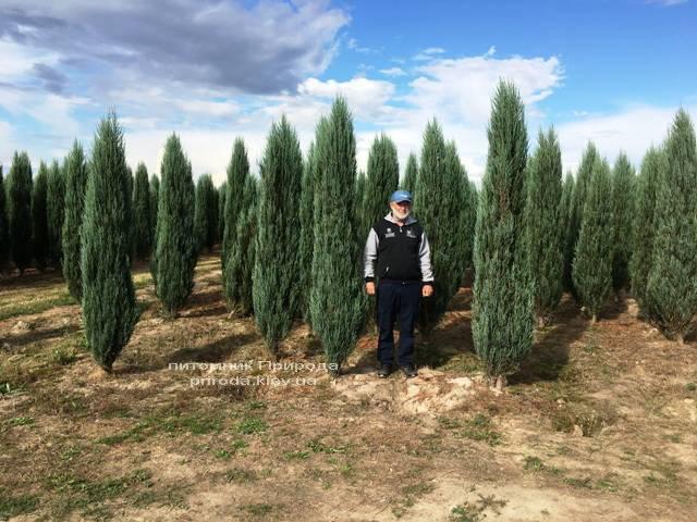 Можжевельник скальный Блю Арроу/Блю Эрроу (Juniperus scopolorum Blue Arrow) ФОТО Питомник растений Природа Priroda (180)