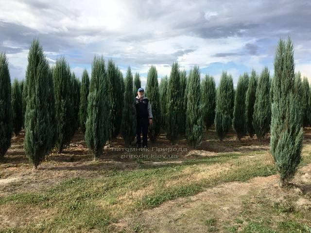 Ялівець скельний Блю Арроу / Блю Ерроу (Juniperus scopolorum Blue Arrow) ФОТО Розплідник рослин Природа Priroda (179)