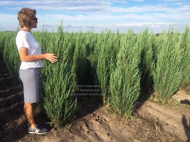 Можжевельник скальный Блю Арроу/Блю Эрроу (Juniperus scopolorum Blue Arrow) ФОТО Питомник растений Природа Priroda (173)