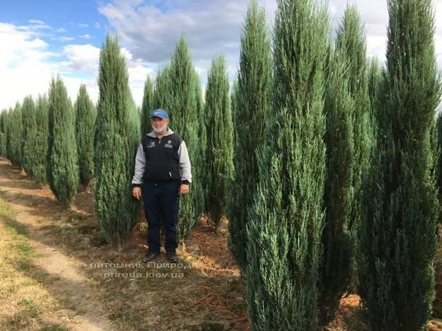 Можжевельник скальный Блю Арроу/Блю Эрроу (Juniperus scopolorum Blue Arrow) ФОТО Питомник растений Природа Priroda (176)