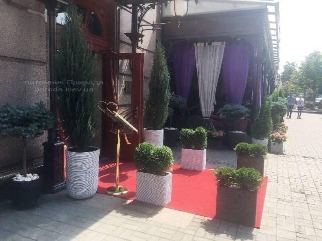 Ялівець скельний Блю Арроу. Готель Premier Palace Hotel, м.Київ
