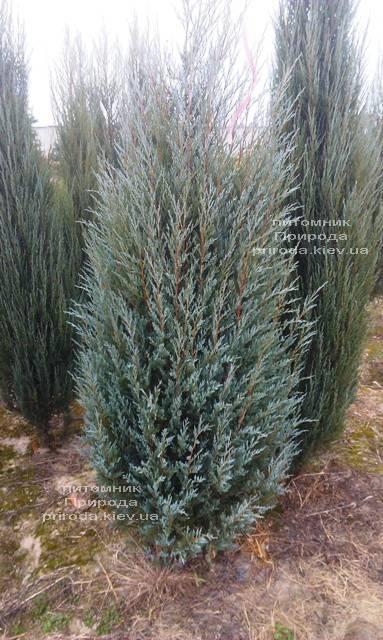 Ялівець скельний Мунглов (Juniperus scopolorum Moonglow) ФОТО Розплідник рослин Природа Priroda (195)