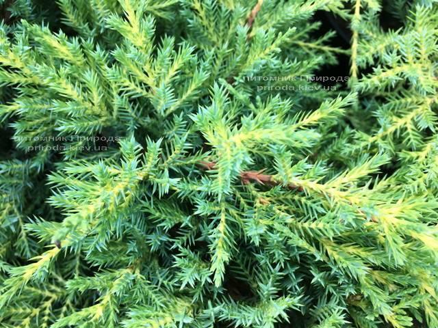 Ялівець середній / пфітцеріана Мордіган Голд (Juniperus media / pfitzeriana Mordigan Gold) ФОТО Розплідник рослин Природа Priroda (143)