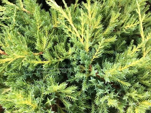 Ялівець середній / пфітцеріана Мордіган Голд (Juniperus media / pfitzeriana Mordigan Gold) ФОТО Розплідник рослин Природа Priroda (145)