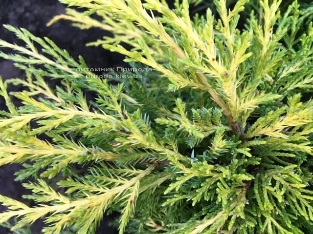 Можжевельник средний / пфитцериана Мордиган Голд (Juniperus media / pfitzeriana Mordigan Gold) ФОТО Питомник растений Природа Priroda (135)