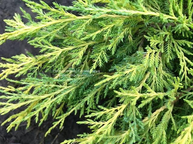 Можжевельник средний / пфитцериана Мордиган Голд (Juniperus media / pfitzeriana Mordigan Gold) ФОТО Питомник растений Природа Priroda (136)