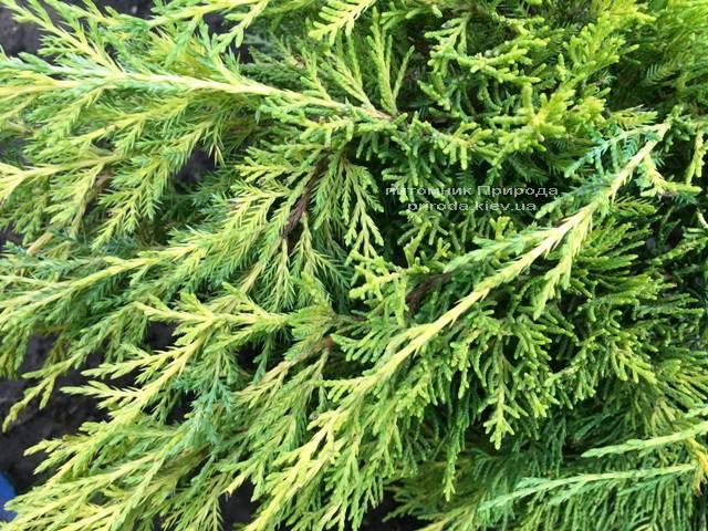 Можжевельник средний / пфитцериана Мордиган Голд (Juniperus media / pfitzeriana Mordigan Gold) ФОТО Питомник растений Природа Priroda (138)
