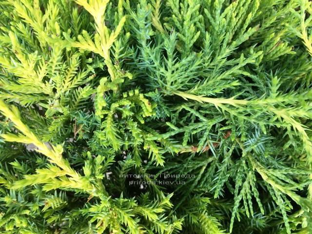 Можжевельник средний / пфитцериана Мордиган Голд (Juniperus media / pfitzeriana Mordigan Gold) ФОТО Питомник растений Природа Priroda (139)