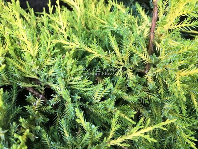 Ялівець середній / пфітцеріана Мордіган Голд (Juniperus media / pfitzeriana Mordigan Gold) ФОТО Розплідник рослин Природа Priroda (140)