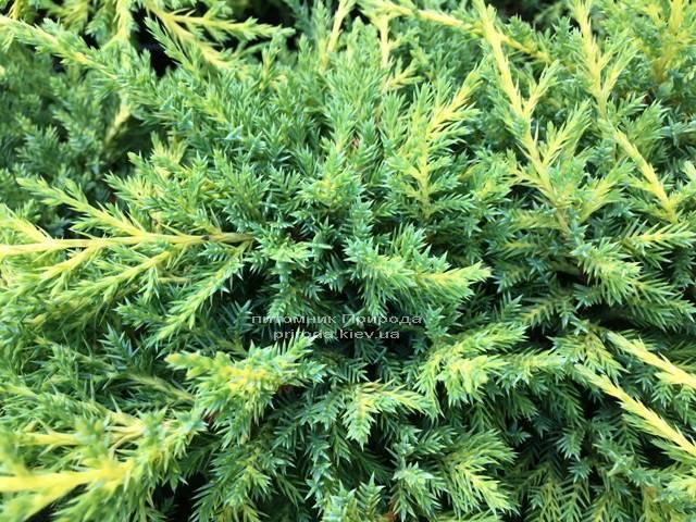 Ялівець середній / пфітцеріана Мордіган Голд (Juniperus media / pfitzeriana Mordigan Gold) ФОТО Розплідник рослин Природа Priroda (141)