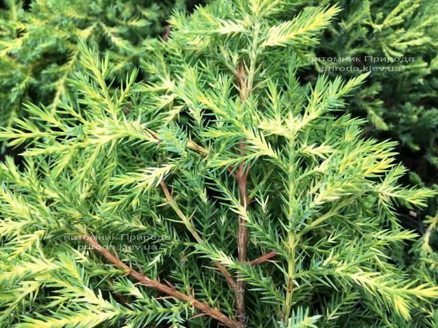 Ялівець середній / пфітцеріана Мордіган Голд (Juniperus media / pfitzeriana Mordigan Gold) ФОТО Розплідник рослин Природа Priroda (142)