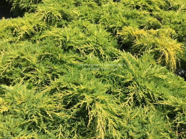 Можжевельник средний Голд Киссен (Juniperus media Goldkissen) ФОТО Питомник растений Природа (Priroda) (162)