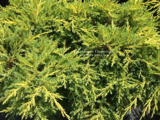 Можжевельник средний Голд Киссен (Juniperus media Goldkissen) ФОТО Питомник растений Природа (Priroda) (168)