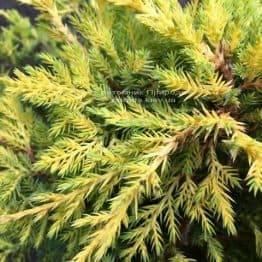 Можжевельник средний Голд Киссен (Juniperus media Goldkissen) ФОТО Питомник растений Природа (Priroda) (159)