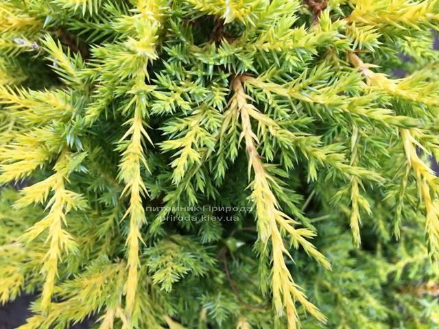 Можжевельник средний Голд Киссен (Juniperus media Goldkissen) ФОТО Питомник растений Природа (Priroda) (160)