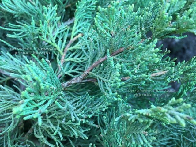 Можжевельник виргинский Блю Клоуд (Juniperus virginiana Blue Cloud) ФОТО Питомник растений Природа Priroda (131)