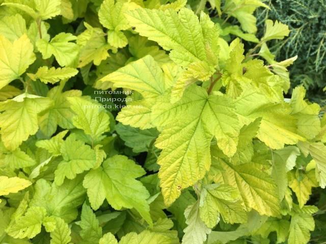 Пузыреплодник калинолистный Лютеус (Physocarpus opulifolius Luteus) ФОТО Питомник растений Природа Priroda (13)