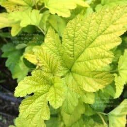 Міхуроплідник калінолістний Лютеус (Physocarpus opulifolius Luteus) ФОТО Розплідник рослин Природа Priroda (14)