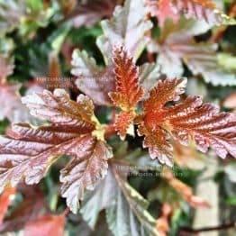 Міхуроплідник калінолістний Ред Барон (Physocarpus opulifolius Red Baron) ФОТО Розплідник рослин Природа Priroda (15)
