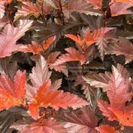 Міхуроплідник калінолістний Літл Ангел (Physocarpus opulifolius Little Angel) ФОТО Розплідник рослин Природа Priroda (7)