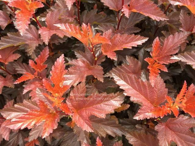 Міхуроплідник калінолістний Літл Ангел (Physocarpus opulifolius Little Angel) ФОТО Розплідник рослин Природа Priroda (8)