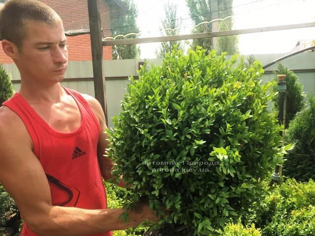 Самшит вечнозелёный (Buxus sempervirens) ФОТО Питомник растений Природа Priroda (17)