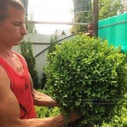 Самшит вечнозелёный (Buxus sempervirens) ФОТО Питомник растений Природа Priroda (19)