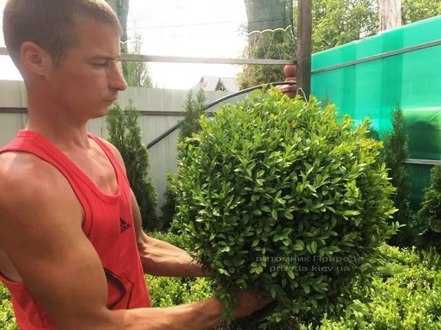 Самшит вічнозелений (Buxus sempervirens) ФОТО Розплідник рослин Природа Priroda (19)