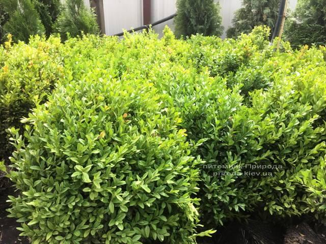 Самшит вічнозелений (Buxus sempervirens) ФОТО Розплідник рослин Природа Priroda (18)