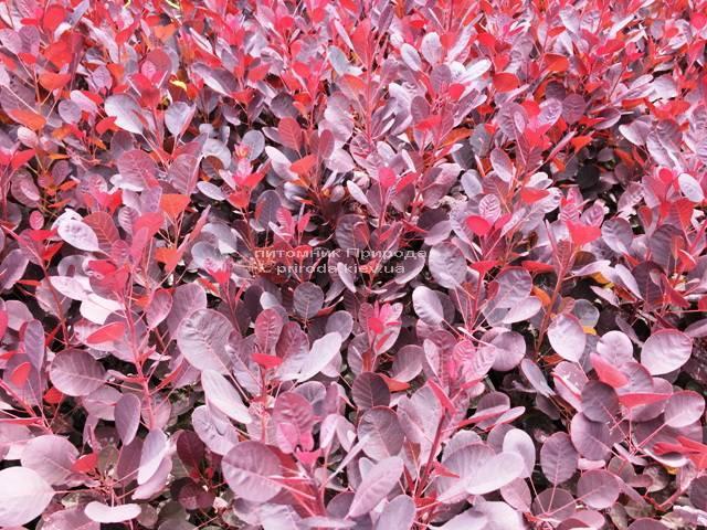 Скумпия кожевенная Лилла (Cotinus coggygria Lilla) ФОТО Питомник растений Природа Priroda