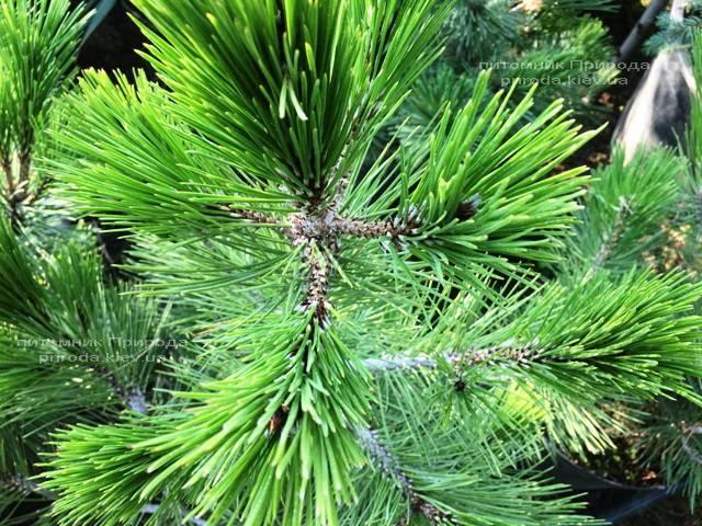Сосна белокорая (Pinus leucodermis) ФОТО Розплідник рослин Природа Priroda (67)