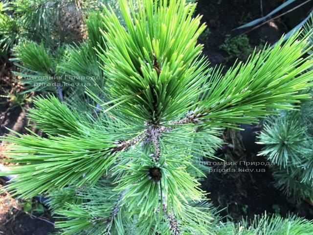 Сосна белокорая (Pinus leucodermis) ФОТО Розплідник рослин Природа Priroda (68)