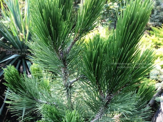 Сосна белокорая (Pinus leucodermis) ФОТО Розплідник рослин Природа Priroda (69)