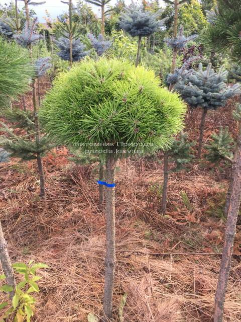 Сосна чорна Брепо (Pinus nigra Brepo) ФОТО Розплідник рослин Природа Priroda (78)