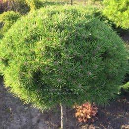 Сосна чорна Брепо (Pinus nigra Brepo) на штамбі ФОТО Розплідник рослин Природа (Priroda) (89)