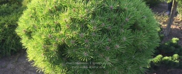 Сосна чёрная Брепо (Pinus nigra Brepo) на штамбе ФОТО Питомник растений Природа (Priroda) (89)