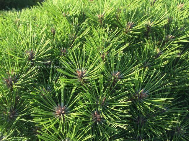 Сосна чорна Брепо (Pinus nigra Brepo) на штамбі ФОТО Розплідник рослин Природа (Priroda) (90)