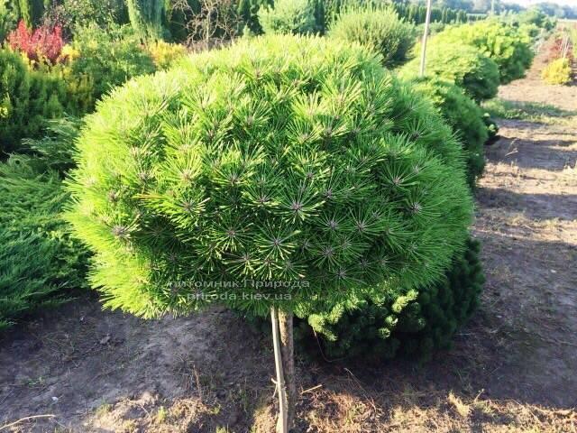 Сосна чорна Брепо (Pinus nigra Brepo) на штамбі ФОТО Розплідник рослин Природа (Priroda) (91)