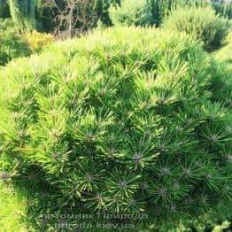 Сосна чорна Брепо (Pinus nigra Brepo) ФОТО Розплідник рослин Природа Priroda (92)